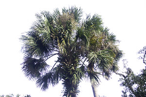 High key palm tree, Washington Oaks State Park