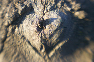 Tree with a branch scar in the shape of a heart